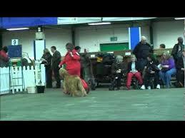 afghan hound national dog show manchester dog show afghan hound judging youtube