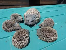 200 best hedgehogs for the garden or outdoors images on