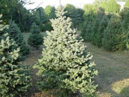 blue spruce clark bros nursery