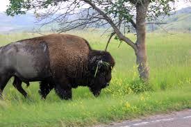 North Dakota wildlife images Free stock photo of wild bison at theodore roosevelt national park jpg
