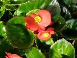 begonia flower begonia scarlanda