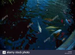 goldfish koi pond stock photos u0026 goldfish koi pond stock images