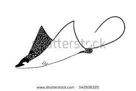 manta ray stock images royalty free images u0026 vectors shutterstock