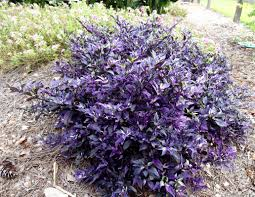 ornamental peppers add color to fall landscapes lsu agcenter