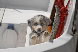 australian shepherd puppy training welcoming our new u201ccrew u201d velocir