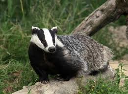 facts about badgers