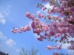 image flowering cherry tree w725 h544 jpg pottermore wiki