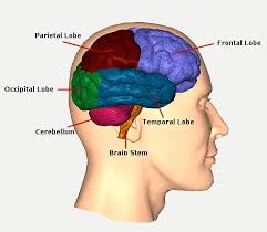 What Portion Of The Brain Controls Respiration Traumatic Brain Injury Resource Guide Brain Function