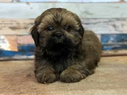 shi poo shih poo puppies manatee county florida