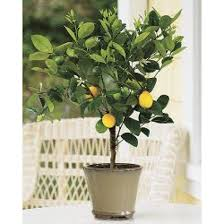 meyer lemon tree 1 2 year 1 2 ft potted 3 year