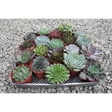 walmart wedding favors rosette 4 succulents for wedding favors centerpieces and