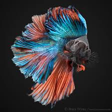 everything about this fish is bursting with color ocean
