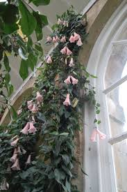 127 best lapageria rosea images on pinterest flowers chile and