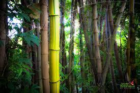 abri jardin bambou bambou jardin botanique deshaies