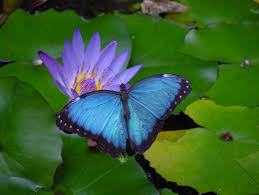 lotus with butterfly astrology butterfly and