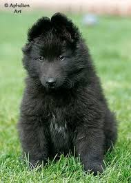 belgian sheepdog what s good about em wandering the good ツ dogs photography of animals pinterest