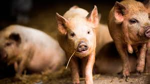 dose pig vaccine aims cut stress labour farmers weekly
