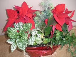 poinsettia the christmas plant