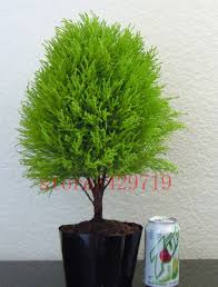 bonsai saule pleureur comparer les prix sur tree cypress online shopping acheter