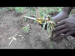 Tomato Plant Wilt Disease - bacterial wilt in tomato plant youtube
