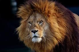 imagenes de leones salvajes gratis animales salvajes imágenes pixabay descarga imágenes gratis