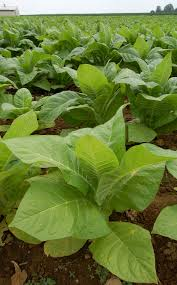 horsedvm toxic plants for horses tobacco