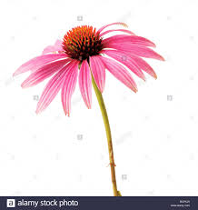 echinacea flower echinacea purple coneflower single pink flower on stem against a