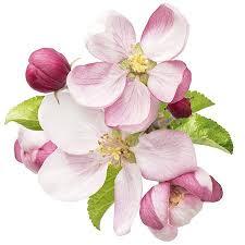 best 25 apple blossoms ideas on apple blossom flower