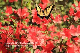 what u0027s blooming the garden maiden