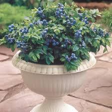 mirtillo in vaso container fruit tree gardening growing fruit crops in pots
