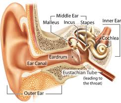 Ear Anatomy Pictures Yorkshire Hearing Aids How Your Hearing Works