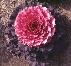 osaka ornamental cabbage kale osaka