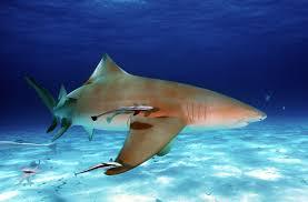 lemon shark facts extreme shark facts