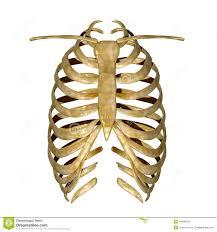 rib cage stock illustration illustration of chest healthy 44380356