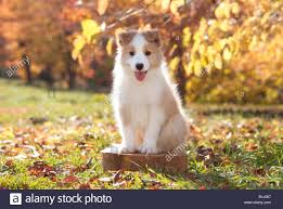 bearded collie x border collie puppies for sale border collie tongue stock photos u0026 border collie tongue stock