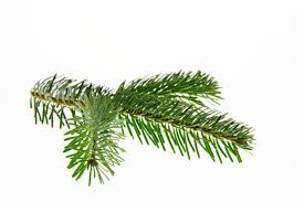 christmas nordmann fir fir branch green color leaf free image