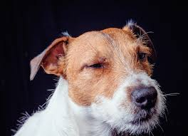 boxer dog vomiting after eating why is my dog throwing up dog vomiting causes u0026 more petmd petmd