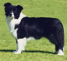 belgian shepherd or border collie border collie dog pictures herding dog breeds pictures and