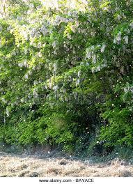 Cottonwood Tree Flowers - cottonwood seed stock photos u0026 cottonwood seed stock images alamy