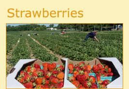 u pick strawberries u0026 apples wny u pick farm u0026 christmas trees