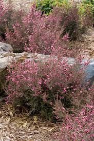 native new zealand plants list dwarf new zealand tea tree monrovia dwarf new zealand tea tree