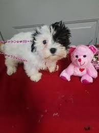 puppies for sale pa puppies for sale in pa lancaster puppies