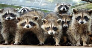 Raccoons In Backyard Raccoon Deterrent 4 Ways To Keep Raccoons Out Of Garbage Cans