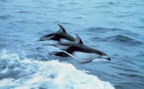 oceanic dolphin wikipedia