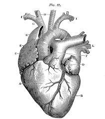 25 beautiful heart anatomy drawing ideas on pinterest heart