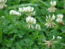 common pesky weeds duvall lawn care white clover