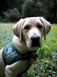 Training A Guide Dog For The Blind 35 Best Guide Dogs For The Blind Images On Pinterest Guide Dog