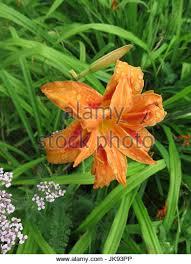 Asian Lilies Asian Lilies Stock Photos U0026 Asian Lilies Stock Images Alamy