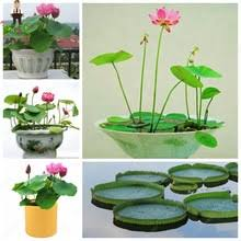 Fragrant Potted Plants - popular lotus plants for sale buy cheap lotus plants for sale lots