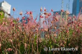 north american native plants 5 10 5 laura ekasetya horticulturist lurie garden u2013 plinth et al